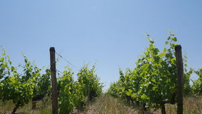 Vines. In montlouis france Stock Photos