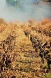 Golden and brown leaves in autumn under the sunlight. Vines in the mountain between forests in a foggy day. Brown and golden vines, a foogy weather, silence and Royalty Free Stock Photos