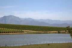 Vines and mountains in the Western Cape S Africa Royalty Free Stock Images