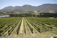 Vines and mountains in the Western Cape South Africa royalty free stock image