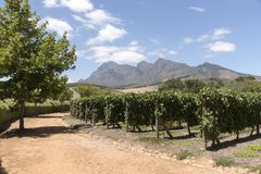 Vines and mountains in the Western Cape. South Africa Stock Image