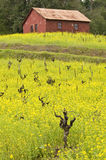 Vines, mustard and barn Royalty Free Stock Image