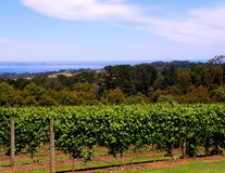Vines & The Nobbies. Photograph taken from Red Hill estate looking towards Phillip Island showing The Nobbies in the background and featuring a vineyard ( royalty free stock photos
