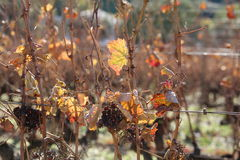 Vines in November, south of france. Vines in november, in the south of france, near Montpellier, still bearing grapefruits royalty free stock photo
