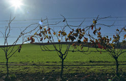 Vines On Green Stock Photography