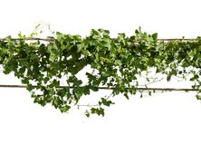 Vines on poles. Isolated on white background Stock Images