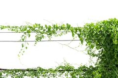 Vines on poles. Isolated on white background Royalty Free Stock Image