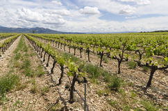 Vines in Provence. Landscape of seasonal farming Stock Images