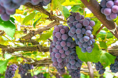 Vines with ripe grape against bright green leaves on sunny day. Vineyard harvest time. Grape close up royalty free stock images