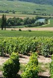 Vines and River. Vines in champagne region vineyard with river Marne in distance Royalty Free Stock Image