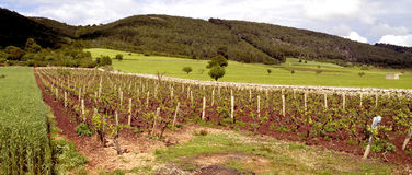 Vines,rows,grapes,hill,Puglia,italy. Cultivation of vines surrounded by green fields and wooded hills in the region of Salento in Puglia Royalty Free Stock Image
