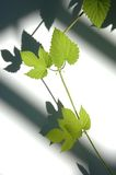 Vines with shadows on a white Stock Photography
