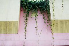 Wall vines. Vines small wall broken pathn Royalty Free Stock Images