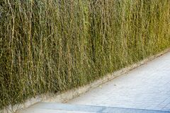 Wall vines. Vines small wall broken pathn Royalty Free Stock Photos