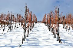 Vines in the snow Royalty Free Stock Photos