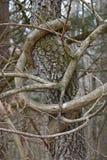 Vines strangle tree near river stock image