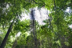 Vines in tropical jungle forest, Barbados stock photography