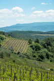 Vines in Tuscany. Grape fields in the countryside of Tuscany in the spring, Italy Stock Photography