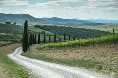 Vines in Tuscany. Grape fields in the countryside of Tuscany in the spring, Italy Royalty Free Stock Photo
