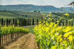 Vines in Tuscany. Grape fields in the countryside of Tuscany in the spring, Italy Stock Image