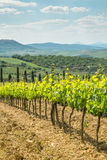 Vines in Tuscany. Grape fields in the countryside of Tuscany in the spring, Italy Royalty Free Stock Photos