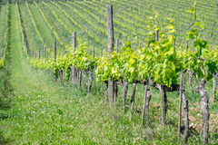 Vines in Tuscany. Grape fields in the countryside of Tuscany in the spring, Italy Royalty Free Stock Image