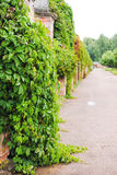 Vines in the Upper Park of Peterhof Royalty Free Stock Images