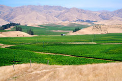 Vines in the valley. Vines covering the valley floor in the Marlborough region, just outside Blenheim, South Island, New Zealand.  Lovely contrast of colors Royalty Free Stock Photography