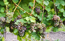 Vines of the variety Traminer Stock Photos