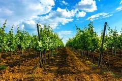 Vines. Vine rows. Sunny day at vineyard Royalty Free Stock Photo