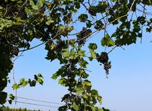 Vines. Hanging of a tree Royalty Free Stock Photos