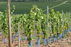 Vines in vineyard Royalty Free Stock Photo