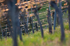 Vines in a vineyard. Vines in the backlight of a vineyard stock photos