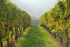 Vines in vineyard. With view of rolling hills in background Stock Photography