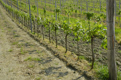 Vines in vineyard Royalty Free Stock Image