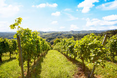 Vines in a vineyard in autumn - Wine grapes before harvest Royalty Free Stock Photos