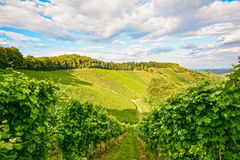 Vines in a vineyard in autumn - Wine grapes before harvest Royalty Free Stock Images