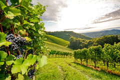 Vines in a vineyard in autumn - Wine grapes before harvest Stock Photo