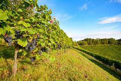 Vines in a vineyard in autumn - Wine grapes before harvest Stock Image