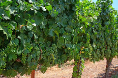 Vines in a vineyard Royalty Free Stock Photos