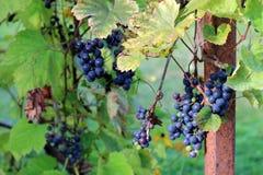 Vines , vineyard Stock Photo