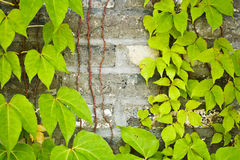 Vines on Wall. Green vines on a brick wall Royalty Free Stock Photos