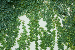 Vines on the wall. Green vines on the wall Stock Photos