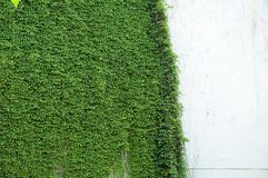 Vines on wall. Ivy growing on plaster wall Royalty Free Stock Photo