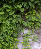 Vines on the wall. Vines with green leaves on the brick wall Stock Photos