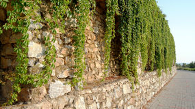 Vines on the wall Stock Photography