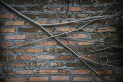 Vines on a wall Stock Photography
