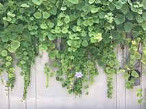 Vines on the wall wallpaper Royalty Free Stock Photo