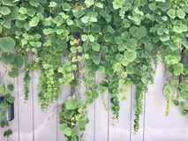 Vines on the wall wallpaper Royalty Free Stock Photography