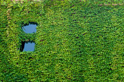Vines with Windows. Lush green vines covering wall with windows Stock Photography